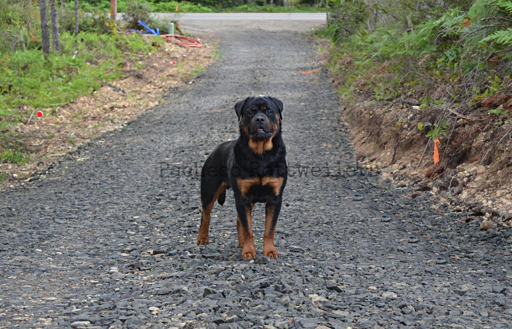Pacheco Rottweiler Puppy
